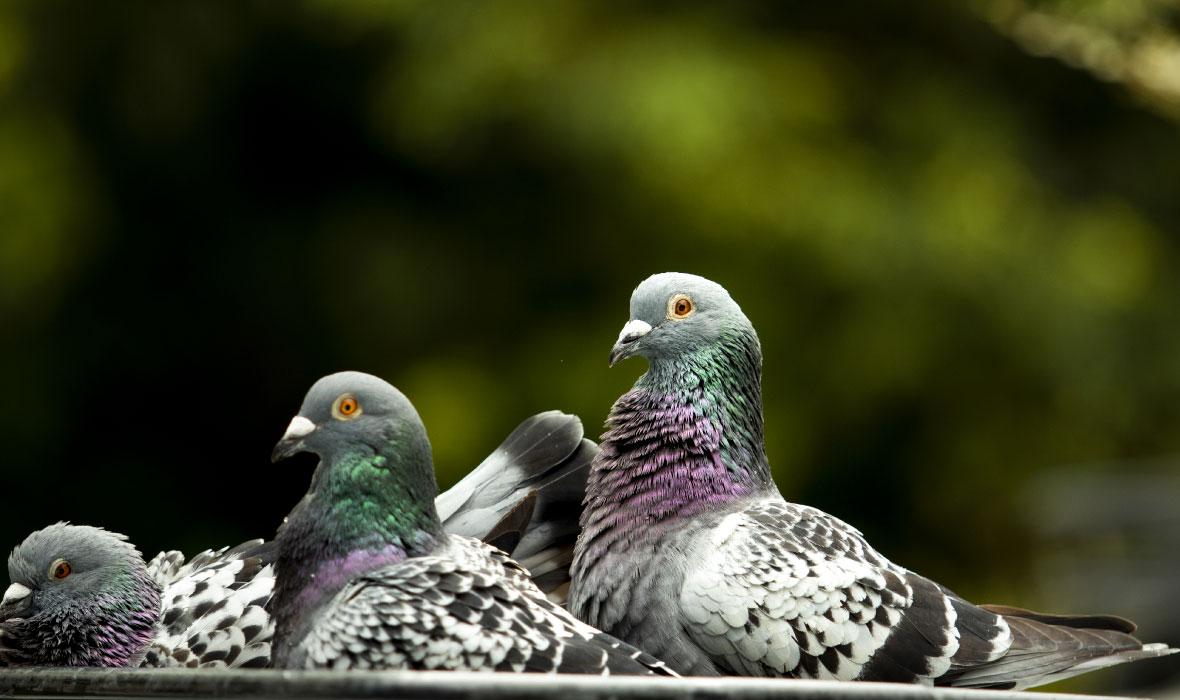 Dónde se encuentran las palomas