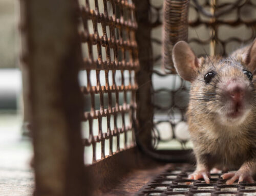 Fiebre por Mordedura de Rata