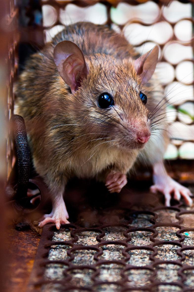 imagen de control de roedores en bogota, empresa fumigaciones young sas