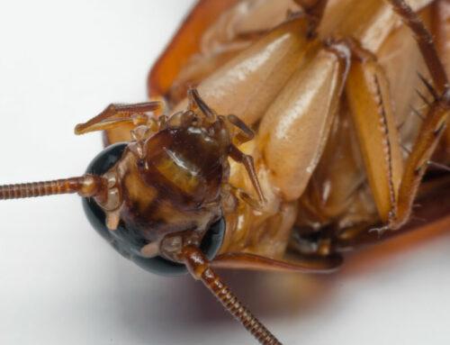 Cómo Eliminar una Plaga de Cucarachas
